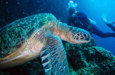 Sulawesi Diving for Turtle
